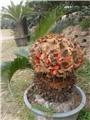 【社团分享】铁树见过,见过铁树的果实吗?