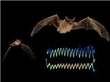 蝙蝠之间的恶性竞争竞争,互发干扰信号?