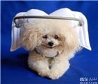 一位天使给失明的狗狗做了个保护光环~