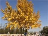 银杏树下——第一期
