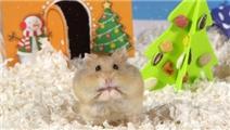 仓鼠过圣诞节,小仓鼠表示非常开心
