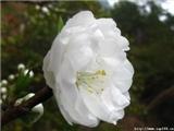 美文下午茶【第一期 】一朵白蔷薇