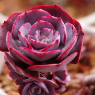 多肉植物与花比美