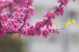 在华东师大你不知道的校花(六)玉兰、紫荆花、豌豆花
