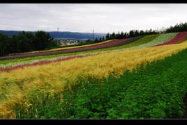 东方普罗旺斯•北海道薰衣草之旅