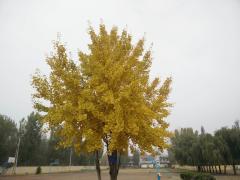 银杏树下的垂杨(雏芽)