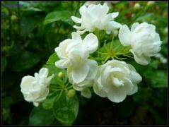 &乐瑟倾如水&夏季茉的花  BY萧忆情Alex&西瓜JUN