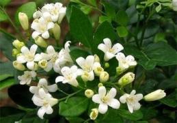 世间多少这样会开花的树——席慕蓉